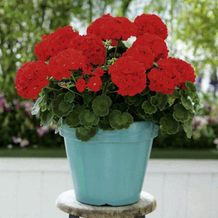 Geranium Plants - Cabaret Red