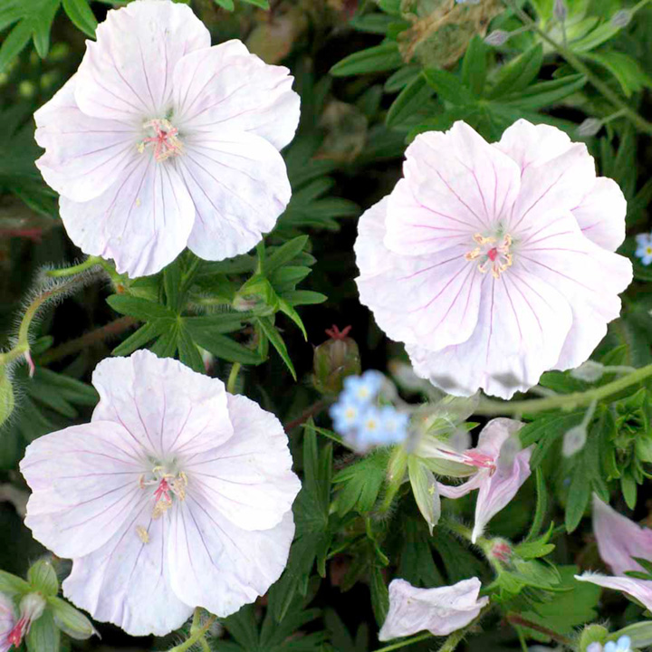 Plants & Plant Care Geranium Sanguineum Alba Plants