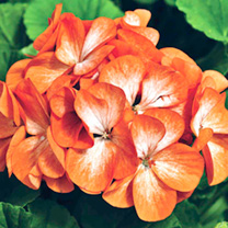 Geranium Plants - Orange Ice F1