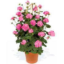 Geranium Pyramid Plants - Antik Pink