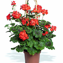 Geranium Pyramid Plants - Antik Scarlet
