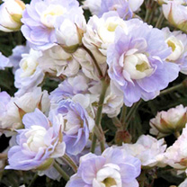 Geranium Plant - pratense Summer Skies