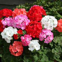 Geranium is the common name for members of the genus Pelargonium which includes upright varieties for beds, borders and containers as well as attracti