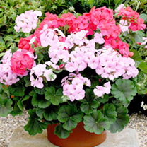 Geranium Plants - F1 Mint Chock