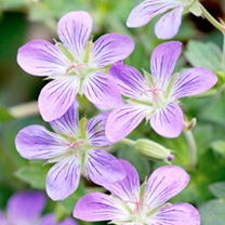 Geranium Plant - wlassovianum Fay Anna