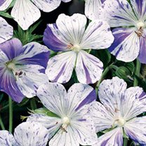 Geranium Plant - Splish Splash