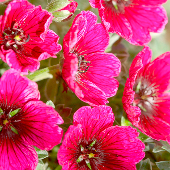 Geranium Plant - Jolly Jewel Purple