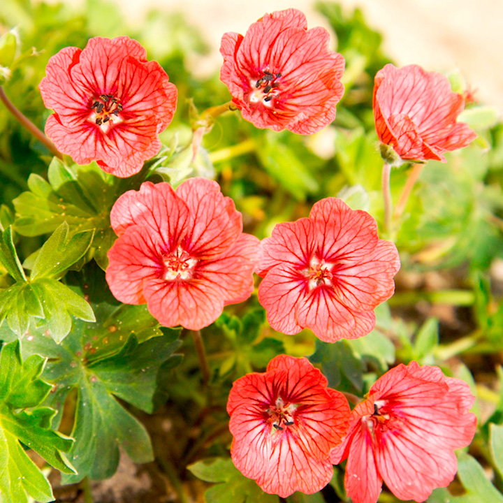 Geranium Plant - Jolly Jewel Salmon