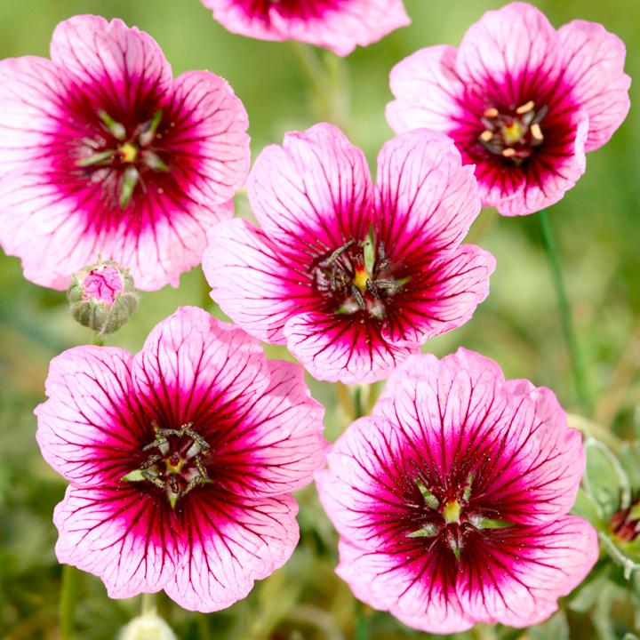 Geranium Plant - Jolly Jewel Violet