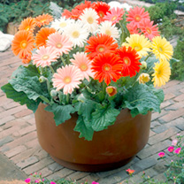 Gerbera Seeds - Cut Flower Mix
