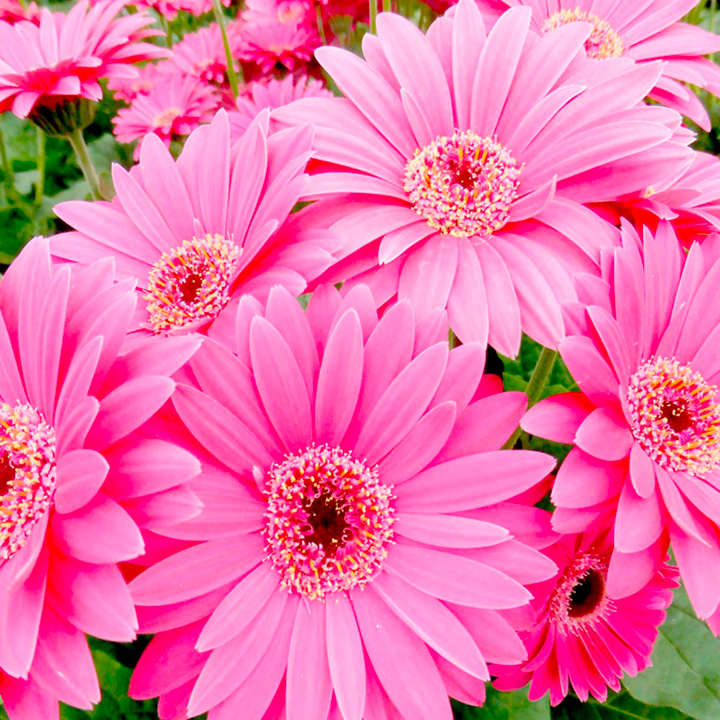 Gerbera Plant - Garvinea Sweet Dreams