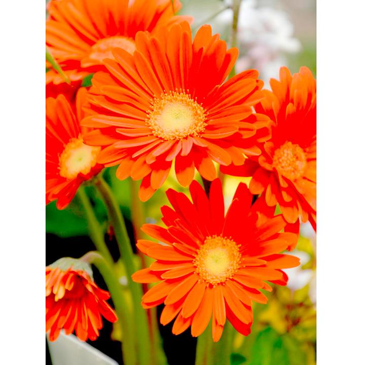 Gerbera Plant - Garvinea Sweet Glow
