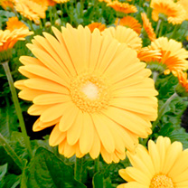 Gerbera Plant - Garvinea Sweet Honey