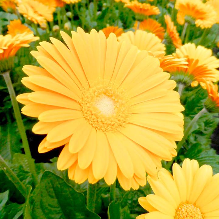 Gerbera Plant - Garvinea Sweet Honey