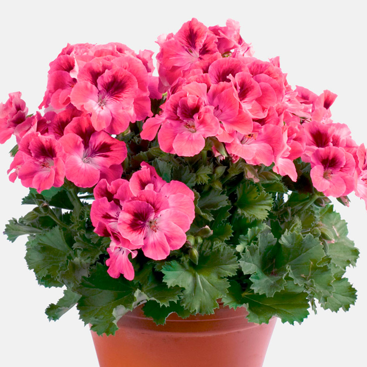 Pelargonium Plants - Kamahl
