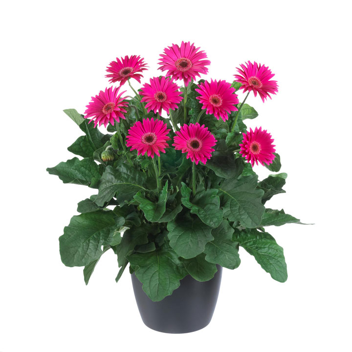 Gerbera Garvinea® Plant - Sweet Dreams