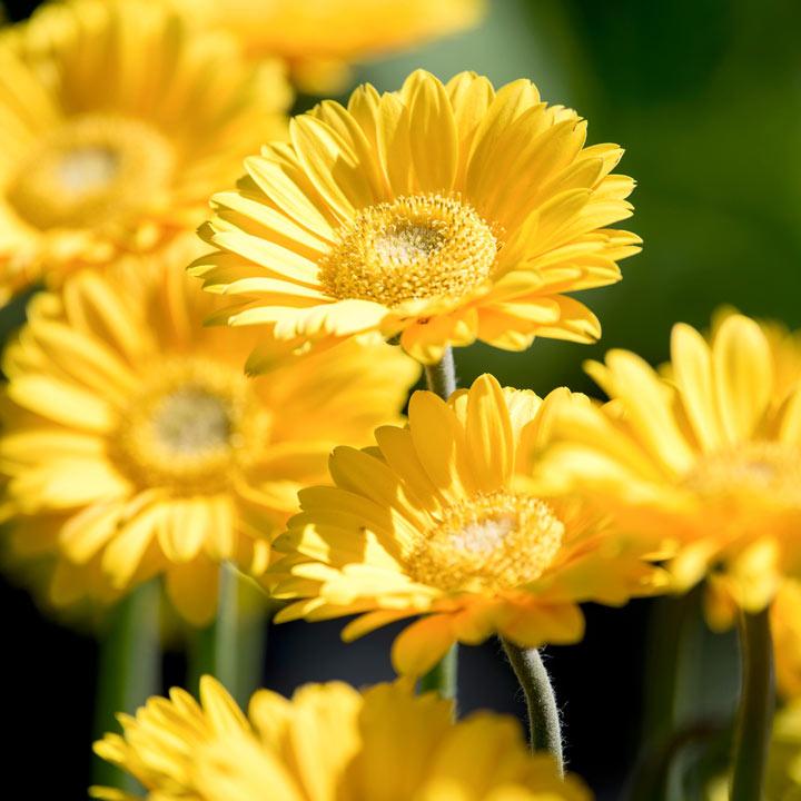 Gerbera Garvinea® Plant - Sweet Smile