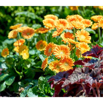 Gerbera Plant - Sweet Caroline