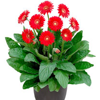 Gerbera Plant - Sweet Love