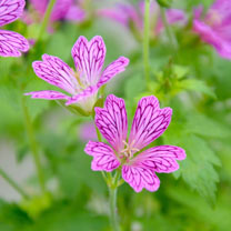 Geranium Plant - Foundlings Friend