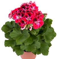 Geranium Plants - Elegance Red Velvet