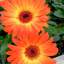 Gerbera Plant - Sweet Sunset