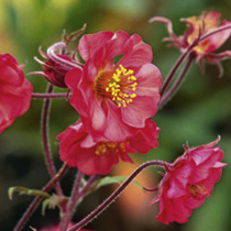 Geum Plant - Flames of Passion