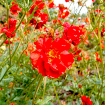 Geum Plants - Mrs Bradshaw