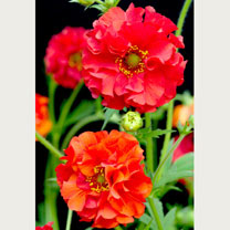Geum Plant - Red Dragon