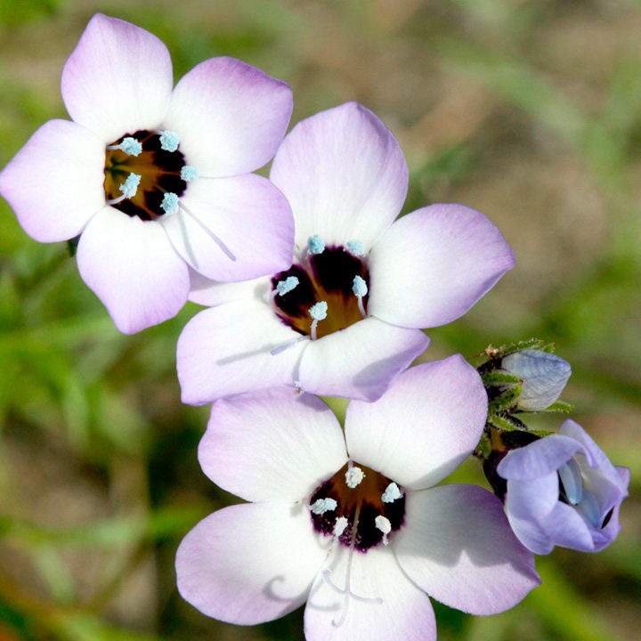 Gilia Seeds - Violet Fields