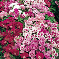 Godetia Seeds - Little Frills Mix