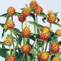 Gomphrena Seeds - haageana Orange