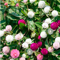 Gomphrena Seeds - Pink Heights Mix