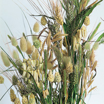 Grasses Ornamental Seeds - Sweet Savannah