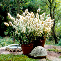 A sought-after grass, producing the familiar bunny tails that are so beloved by flower arrangers. Plants are reliable and uniform perfect for pots or