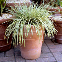 These beautiful grass-like plants come in many shapes and sizes, are extremely versatile and incredibly easy to grow. Here are just a couple of our fa