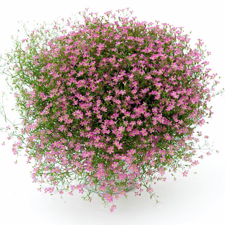 Gypsophila Plants - Gypsy Pink