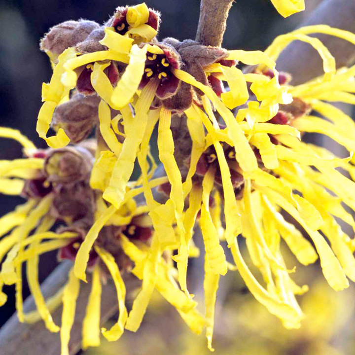 Hamamelis Plant Twin Pack