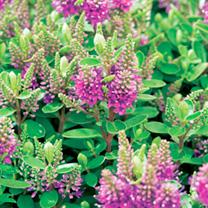 Hebedonna Plant - Diana