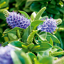 Hebedonna Plant - Julia