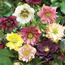 Helleborus Plants - Double Ellen Purple