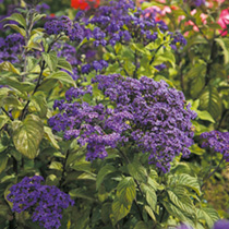 Dense clusters of violet-purple flowers over rich green foliage. Flowers July-September. Height 38cm (15). Drought and heat tolerant and if you have a