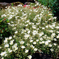 Helianthemum Plants - Collection