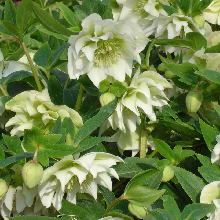 Helleborus Twin Pack - White and Pink