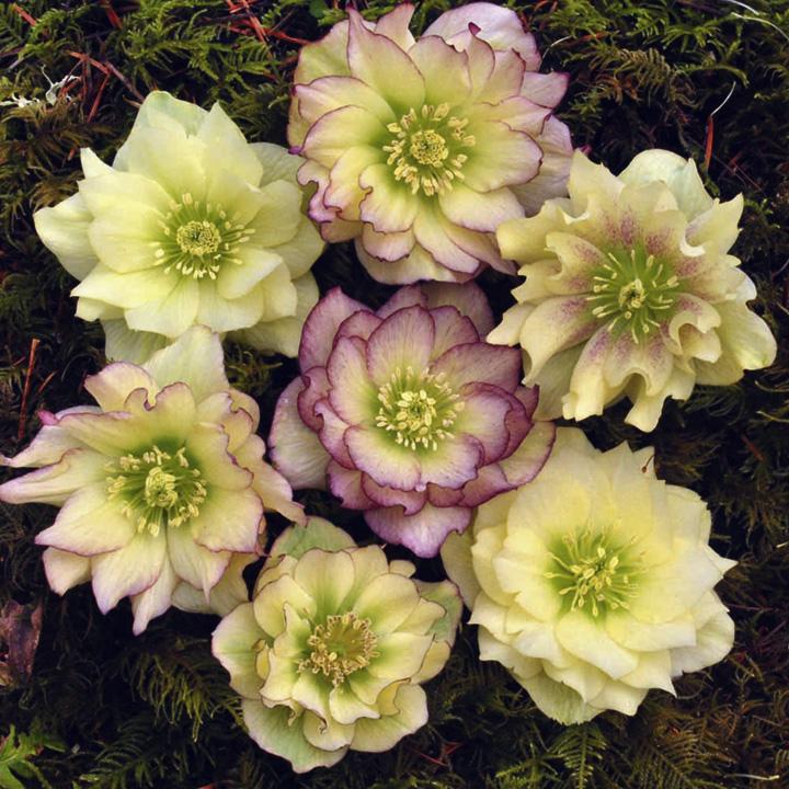Helleborus Golden Lotus x 3
