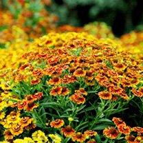 Helenium Plants - Autumnale Western
