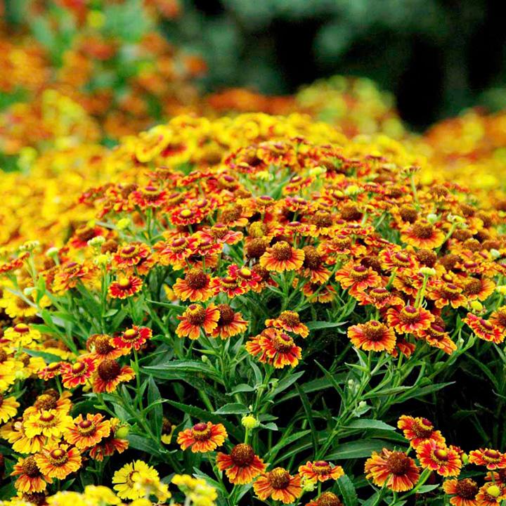 Helenium Plant - Autumnale Western