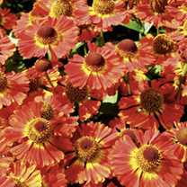 Helenium Plant - Salsa