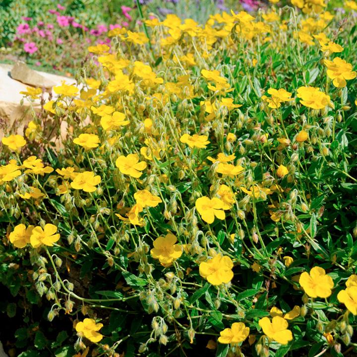 Helianthemum Plant - Sterntaler