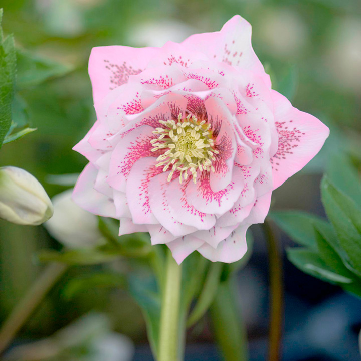 Helleborus Plant - Double Ellen Pink